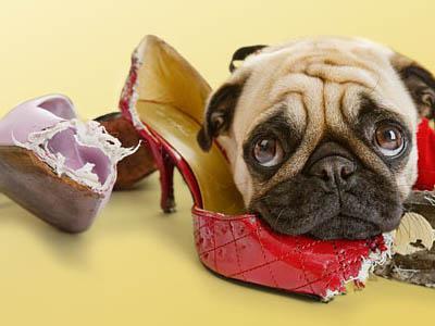 грызет обувь